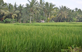 Rice Fields Walk